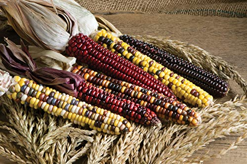 - David's Garden Seeds Corn Dent Painted Mountain 2612 (Multi) 50 Non-GMO, Heirloom, Organic Seeds