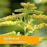Herb Pharm Certified Organic Goldenrod Liquid