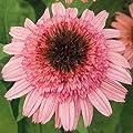 Saavyseeds Raspberry Truffle Coneflower Seeds - 55 Count