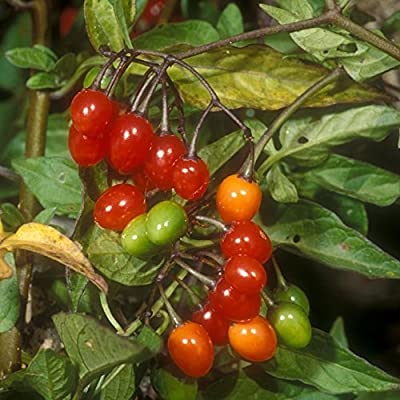 Bittersweet Nightshade Seeds (Solanum Dulcamara) 30+ Rare Organic Seeds in FROZEN SEED CAPSULES for The Gardener & Rare Seeds Collector - Plant Seeds Now or Save Seeds for Years : Garden & Outdoor