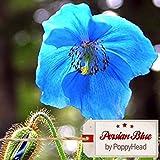 """Papaver Somniferum - Schlafmohn - Mohn - """"Persian Blue"""" (unbehandelt und keimfähig) - 250 Samen by PoppyHead"""