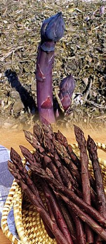 Purple Passion Asparagus 50 Roots - Male Dominate - Heirloom/No GMOs