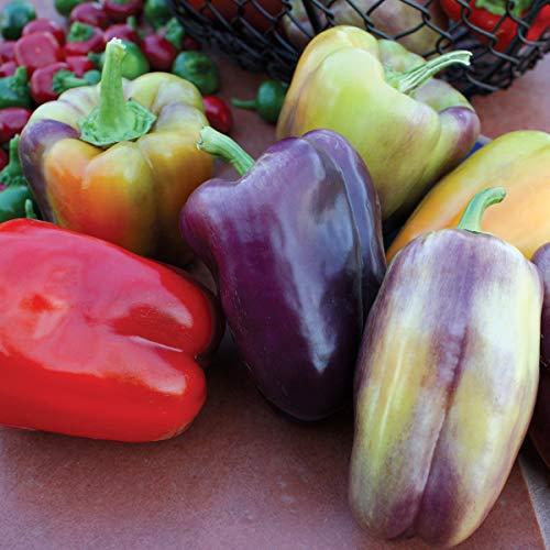 Burpee Pinot Noir Sweet Pepper Seeds 30 seeds (Cherry Bell Peppers)