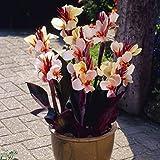 Van Zyverden 83452 Cannas Angel Martin Set of 5 Bulbs Flowering-Plants 2/3 Eye Peach