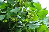 American Hazelnut Plant 3 to 4 feet Tall