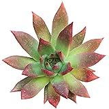 Echeveria Agavoides Lipstick Red Edge Succulent (2'' + Clay Pot)