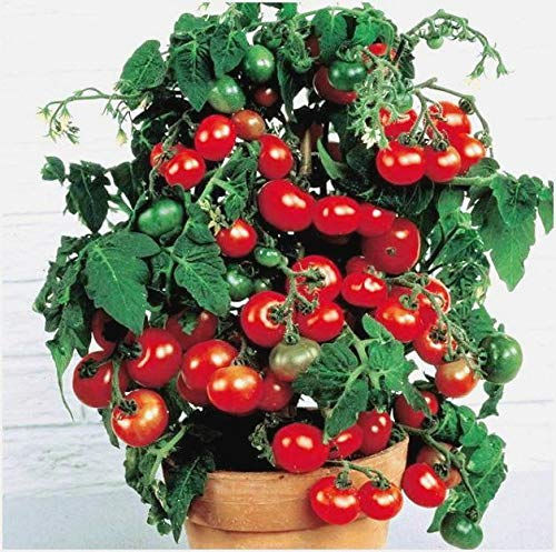 Dwarf Bush Tomato Organic Seeds aup to 25 Seeds