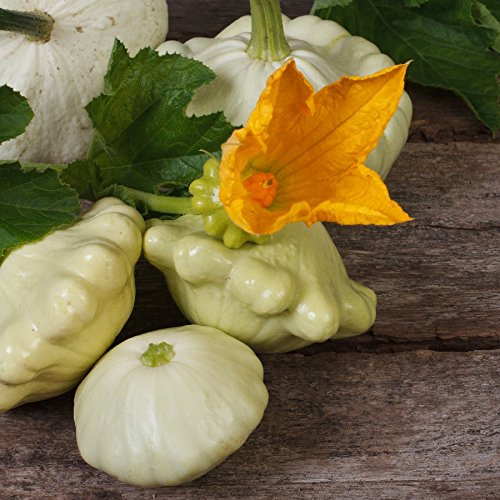 Squash (Summer) Seeds - Scallop, Early White Bush - Packet, Vegetable Seeds Early White Bush Scallop