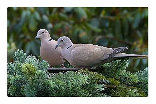 Tree26 Indoor Floor Rug/Mat (23.6 x 15.7 Inch) - Dove Collared Bird Streptopelia Decaocto Foraging