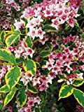(2 Gallon) Variegated Weigela - Lots and Lots of Gorgeous Pink Flowers- Late Spring and Early Summer, with The Bushes Covered in Showy Pink Blooms with Cream or Yellow Leaf variegations.