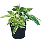 PlantVine Alpinia zerumbet 'Variegata', Shell Ginger - Variegated - 14 Inch Pot (7 Gallon), Live Plant
