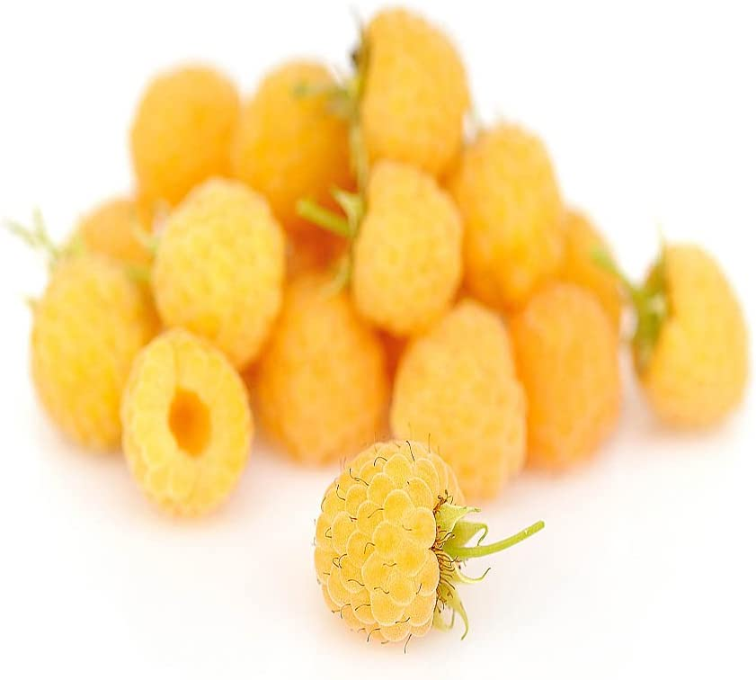 Raspberry Plants Canes All Gold Pack of 10 Autumn