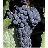 Generic 2018 New Arrivals!! 1 Professional Pack, 100 Seeds/Pack, Marquette Dark Blue Grape Seed Red Wine Grape Hardy Plant Seedling