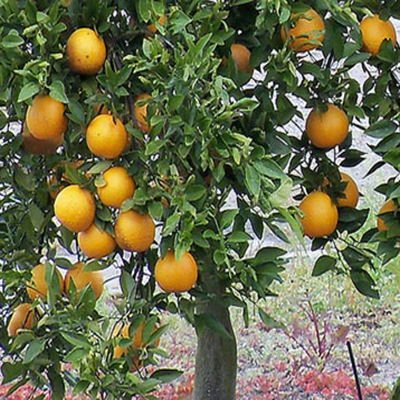 Valencia Orange Tree - 5