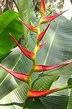 10 Seeds Heliconia latispatha Plant