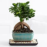 ProFlowers - 1 Count Green 0 Ginseng Grafted Ficus Bonsai - Indoor Plants Bonsai