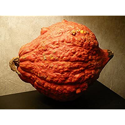 Heirloom Golden Hubbard Winter Squash 25 Seeds 9-12 Lb Squash Genesee Red : Garden & Outdoor