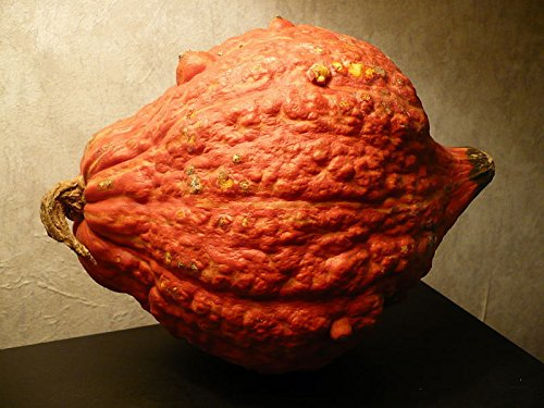 Heirloom Golden Hubbard Winter Squash 25 Seeds 9-12 Lb Squash Genesee Red