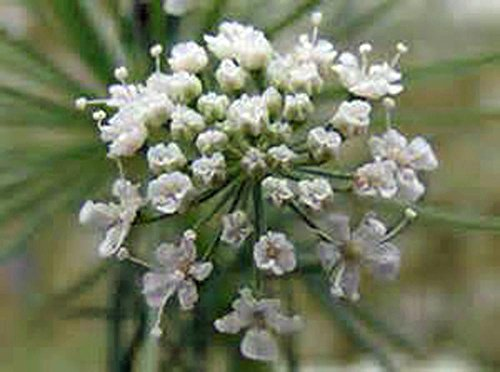 Bishop Flower seed, Organic, 25+ seeds per pack , A sweet white danity flower .