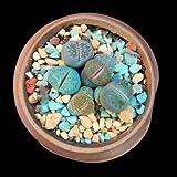 """Succulent Live Plant """"Lithops lesliei""""#092"""