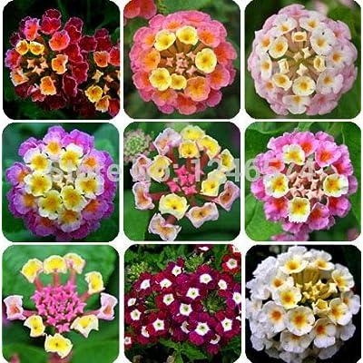 20 Pcs/Bag, Lantana Bonsai, Potted Bonsai, Flower Bonsai, Home Garden: Industrial & Scientific