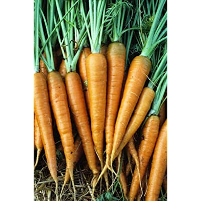Grandiosy Danvers 126 Carrot Seed 200 Count PKT. Tender/Sweet : Garden & Outdoor
