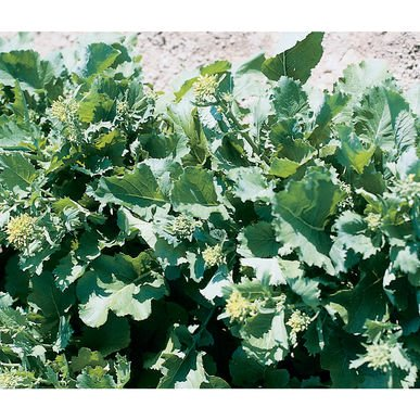 David's Garden Seeds Broccoli Raab Sessantina Grossa D137A (Green) 500 Open Pollinated Seeds