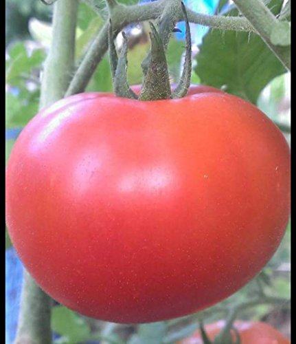 Homestead Tomato Heirloom 25 SEEDS HEAT RESISTANT ()
