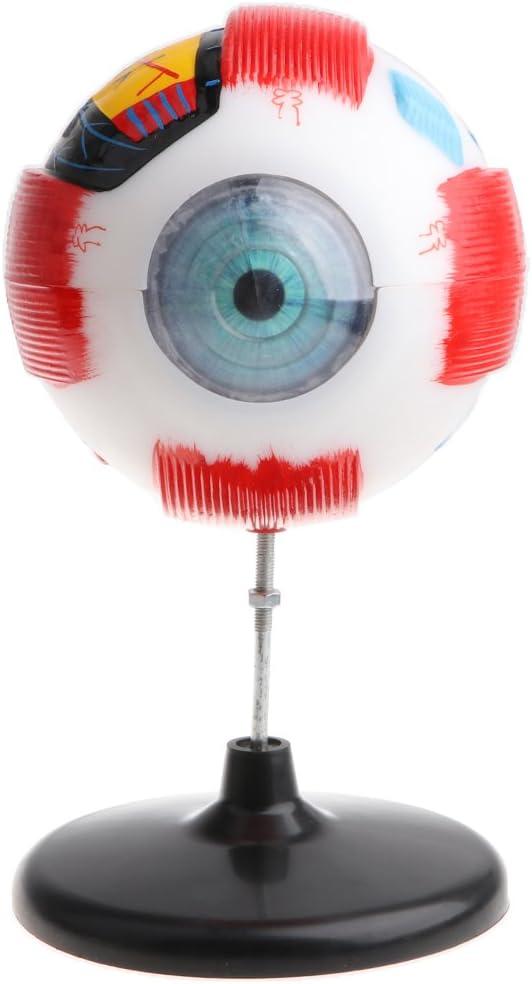 IPOTCH De Gran Tamaño del Ojo Humano Modelo De Bola Anatómica Médica Kit De Laboratorio Kit De Suministros