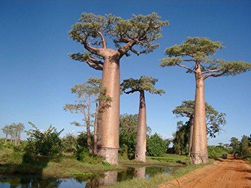 Baobob Tree 8 Seeds - Monkey Bread Tree - Adamsonia by Hirt's Gardens