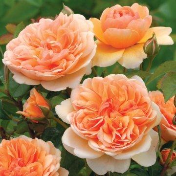 David Austin English Roses Port Sunlight