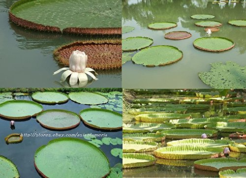 10 SEEDS VICTORIA AMAZONICA POND PLANTS + FREE PHYTO Flower Fresh & Viable From - Victoria Gardens Pictures