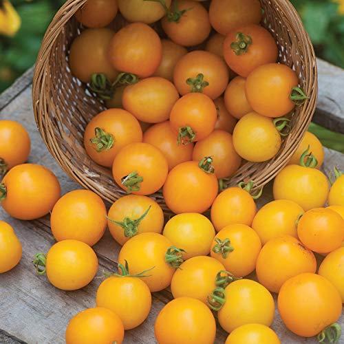 (Burpee 'Tumbling Tom Yellow' Hybrid | Yellow Cherry Tomato | 10 Seeds)