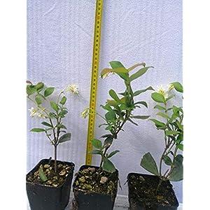 Gelsomino 10 piante (foto reali) 51OcSDY6VTL. SS300