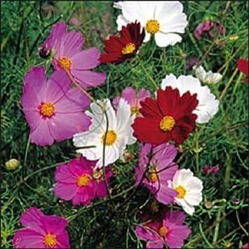 Amazon 35 Cosmos Purple Red White Mix Drought Tolerant