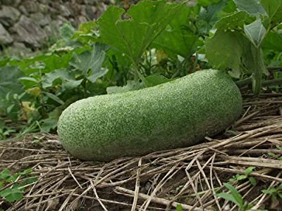20 WAX GOURD Winter Melon White Ash Benincasa Hispida Vegetable Seeds *Comb S/H