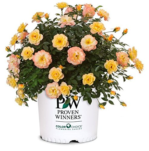Proven Winners - Rosa OSO EASY Italian Ice (Rose) Rose, yellow w/pink, #2 - Size Container by Green Promise Farms (Image #7)