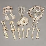 Dog Skeleton, Disarticulated