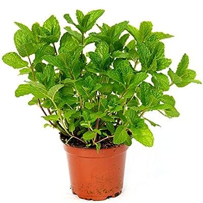 200 Spearmint Vegetable Mentha spicata Herb Mint Perennial Seeds