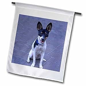 Perros–Fox Terrier Toy Fox Terrier 2–Banderas