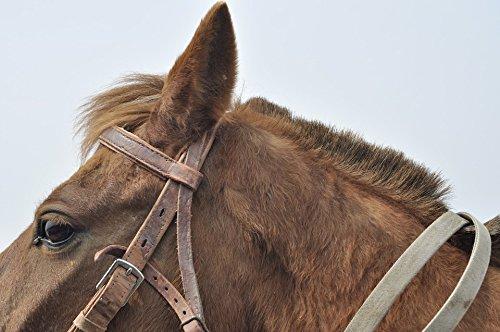 Ear Bridle (Home Comforts Framed Art for Your Wall Head Earhead Horse Eye Ear Bridle Animal Fur 10x13 Frame)