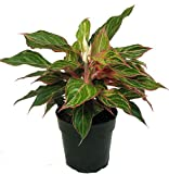 "Sparkling Sarah Chinese Evergreen Plant - Aglaonema - Grows in Dim Light -6"" Pot"