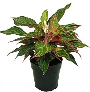 """Sparkling Sarah Chinese Evergreen Plant - Aglaonema - Grows in Dim Light -6"""" Pot"""