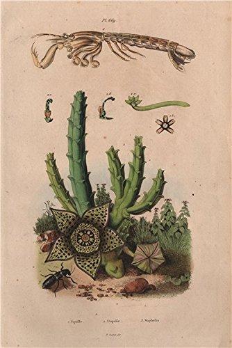 peacock mantis shrimp poster