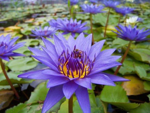 Lily Pond Purple - Purple Tropical Water Lily - Water Garden Live Pond Plant