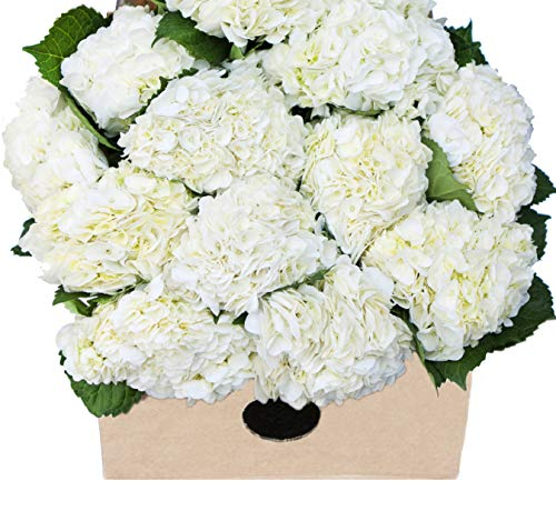 - Blooms2Door Farm-Fresh Hydrangeas in Bulk:15 White Hydrangeas (Naturally Colored, Premium Quality) - Farm Direct Wholesale Fresh Flowers
