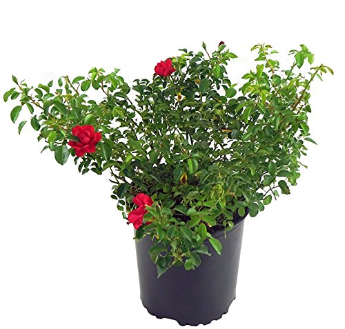 Scarlet Flower Carpet Rose, red flowering rose in 2 Gallon pot Carpet Rose