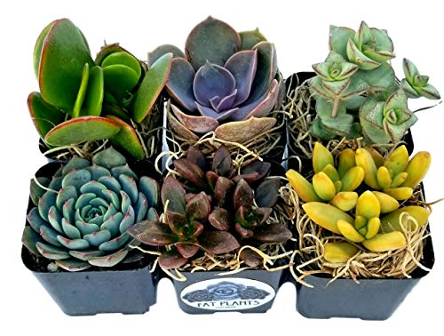 Succulent Plants in Planters with Soil - Living Succulents in 2 Inch Plastic Pots Variety Packages for Cactus and Succulent Decor, Gifts, Showers and Wedding Decorations by Fat Plants San ()