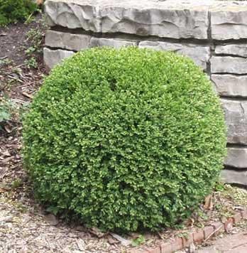 Green Gem Boxwood - Quantity 10 Live Plants in Quart Pots by DAS Farms (No California) by DAS Farms (Image #2)
