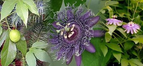 (Outdoor plants - Hardy Passion Flower 15 Seeds - Maypop - Passiflora)
